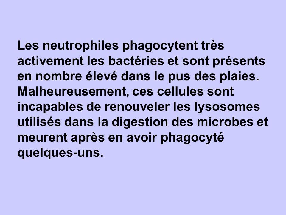 Les neutrophiles phagocytent très activement les bactéries et sont présents en nombre élevé dans le pus des plaies. Malheureusement, ces cellules sont