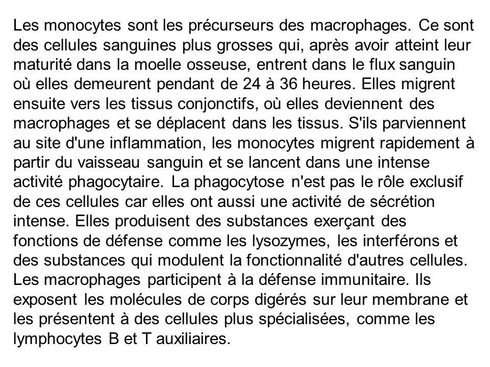Les monocytes sont les précurseurs des macrophages. Ce sont des cellules sanguines plus grosses qui, après avoir atteint leur maturité dans la moelle