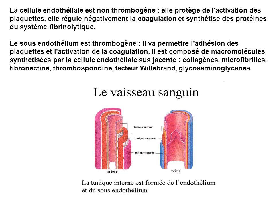 La cellule endothéliale est non thrombogène : elle protège de l'activation des plaquettes, elle régule négativement la coagulation et synthétise des p