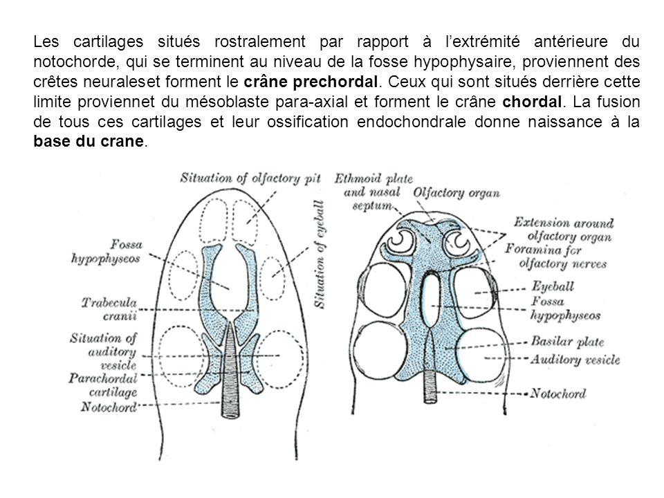 Les cartilages situés rostralement par rapport à lextrémité antérieure du notochorde, qui se terminent au niveau de la fosse hypophysaire, proviennent