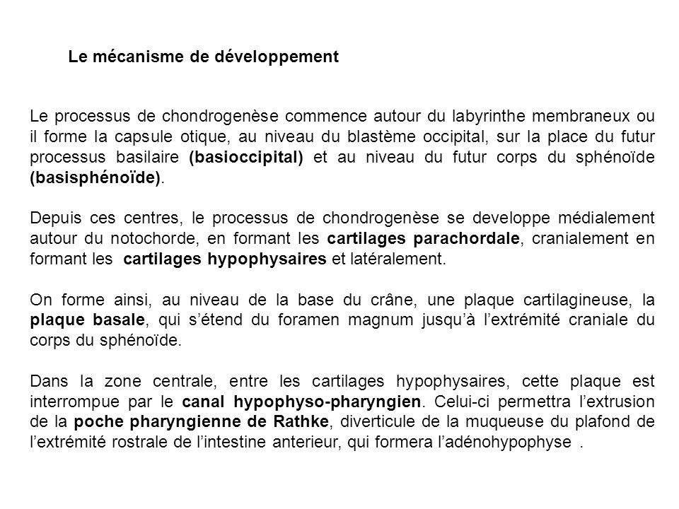 Le processus de chondrogenèse commence autour du labyrinthe membraneux ou il forme la capsule otique, au niveau du blastème occipital, sur la place du