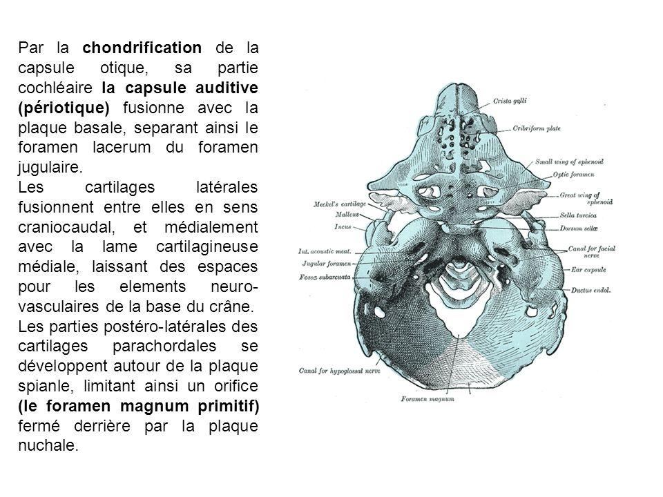 Par la chondrification de la capsule otique, sa partie cochléaire la capsule auditive (périotique) fusionne avec la plaque basale, separant ainsi le f