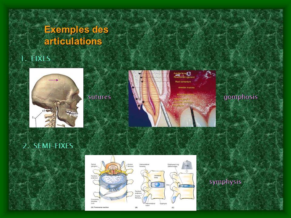 Exemples des articulations 1.FIXES 2.SEMI-FIXES symphysis gomphosissutures
