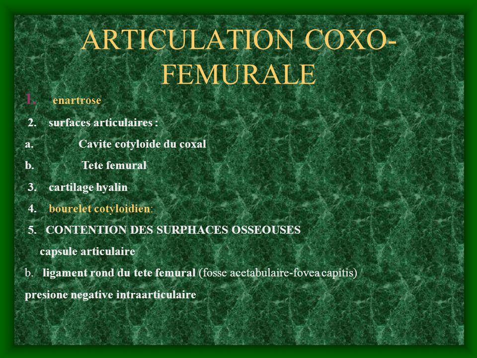 ARTICULATION COXO- FEMURALE 1. enartrose 2. surfaces articulaires : a. Cavite cotyloide du coxal b. Tete femural 3. cartilage hyalin 4. bourelet cotyl