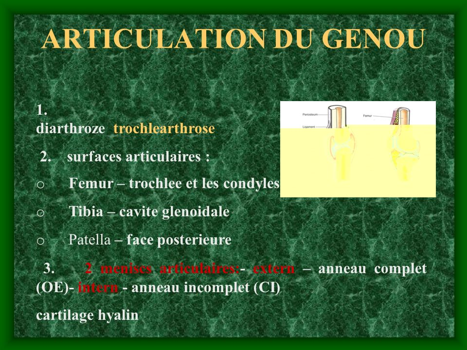 ARTICULATION DU GENOU 1. diarthroze trochlearthrose 2. surfaces articulaires : o Femur – trochlee et les condyles o Tibia – cavite glenoidale o Patell