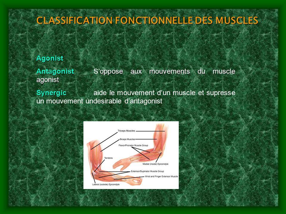 CLASSIFICATION FONCTIONNELLE DES MUSCLES Agonist Antagonistoppose aux mouvements du muscle agonist AntagonistSoppose aux mouvements du muscle agonist