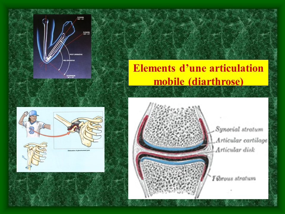 1.cartilage hyalin – couvre les surfaces articulaires 2.