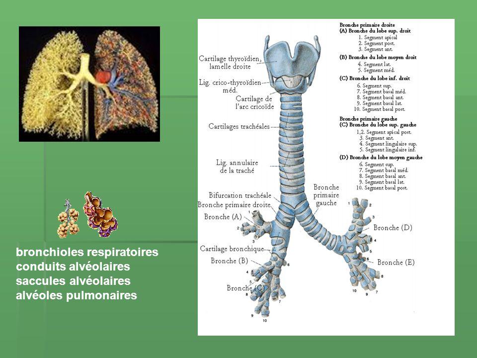 bronchioles respiratoires conduits alvéolaires saccules alvéolaires alvéoles pulmonaires