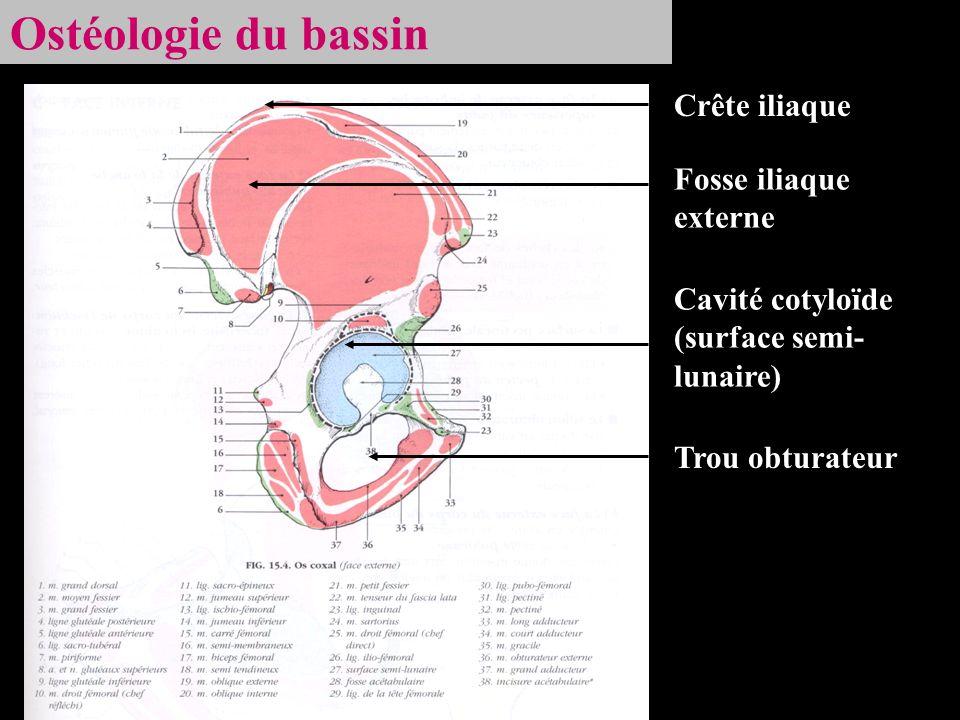 Fosse iliaque externe Cavité cotyloïde (surface semi- lunaire) Crête iliaque Trou obturateur