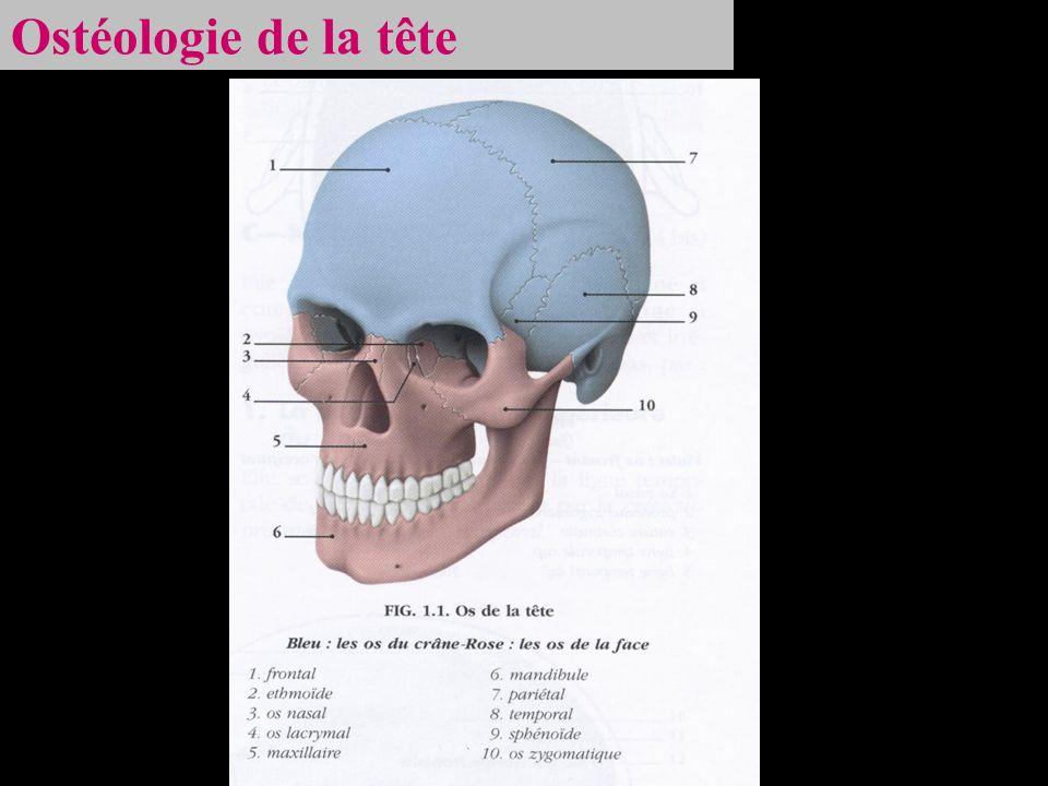 Ostéologie de la tête