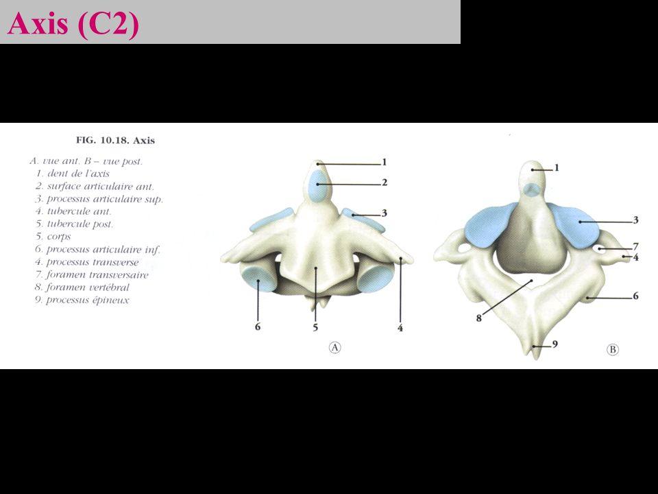 Vertèbre thoracique (T1-T12)