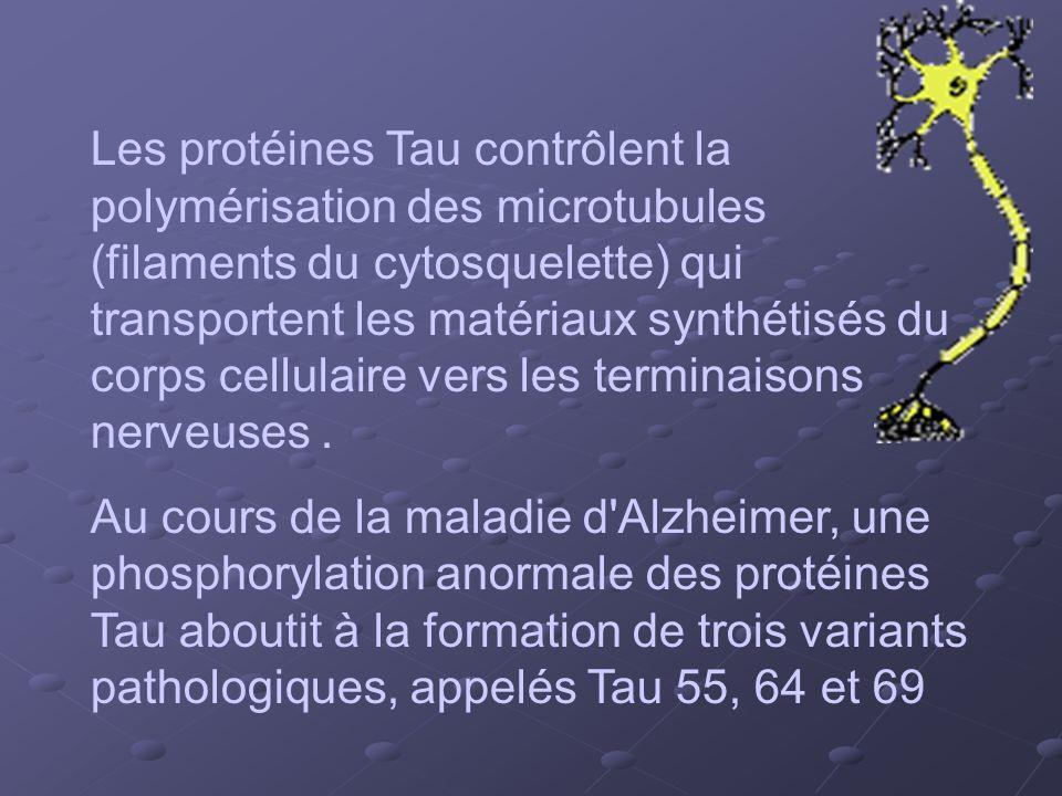 Les protéines Tau contrôlent la polymérisation des microtubules (filaments du cytosquelette) qui transportent les matériaux synthétisés du corps cellu