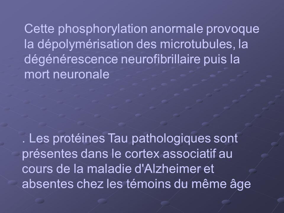 . Les protéines Tau pathologiques sont présentes dans le cortex associatif au cours de la maladie d'Alzheimer et absentes chez les témoins du même âge