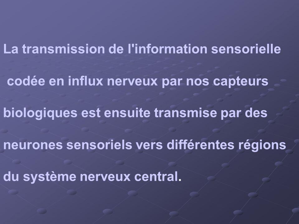 La transmission de l'information sensorielle codée en influx nerveux par nos capteurs biologiques est ensuite transmise par des neurones sensoriels ve