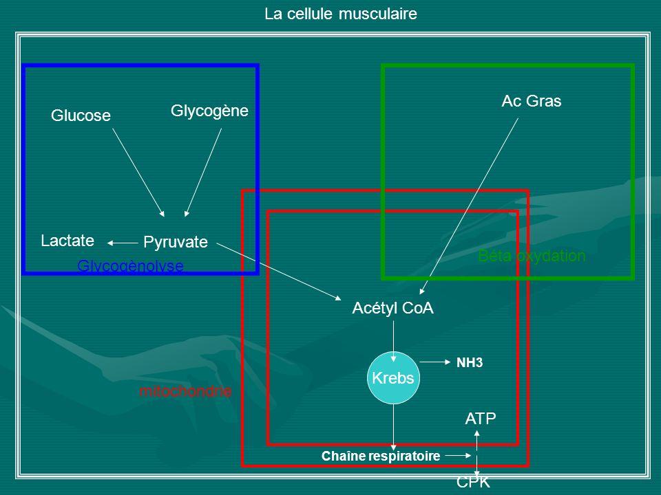 Glycogène Pyruvate Lactate Ac Gras Krebs ATP CPK Chaîne respiratoire Acétyl CoA NH3 Glucose Béta oxydation La cellule musculaire Glycogènolyse mitocho