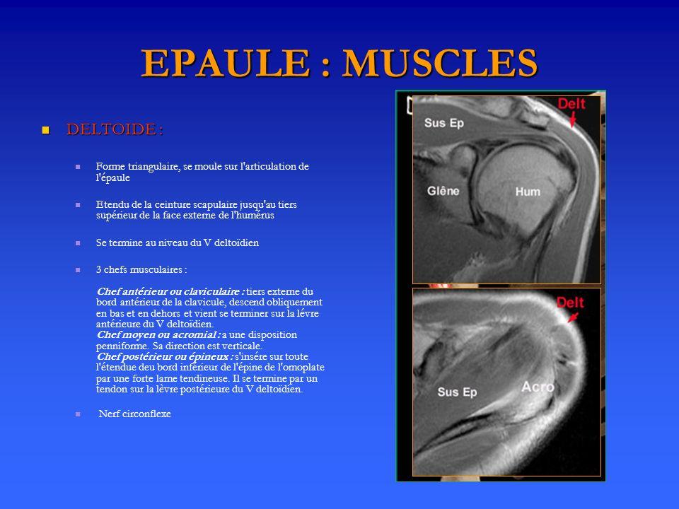 EPAULE : MUSCLES DELTOIDE : DELTOIDE : Forme triangulaire, se moule sur l'articulation de l'épaule Etendu de la ceinture scapulaire jusqu'au tiers sup
