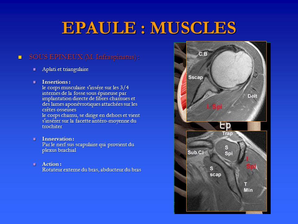 EPAULE : MUSCLES SOUS EPINEUX (M. Infraspinatus) : SOUS EPINEUX (M. Infraspinatus) : Aplati et triangulaire Aplati et triangulaire Insertions : le cor