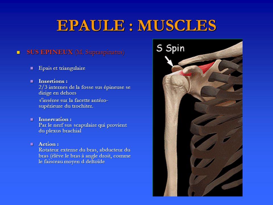 EPAULE : MUSCLES SUS EPINEUX (M. Supraspinatus) SUS EPINEUX (M. Supraspinatus) Epais et triangulaire Epais et triangulaire Insertions : 2/3 internes d