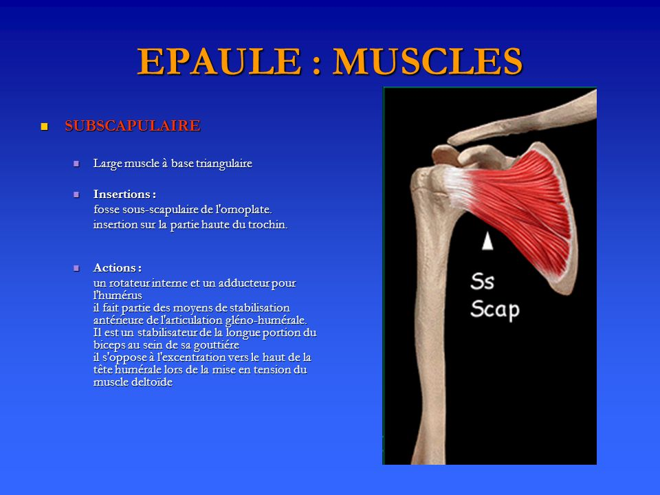 EPAULE : MUSCLES SUBSCAPULAIRE SUBSCAPULAIRE Large muscle à base triangulaire Large muscle à base triangulaire Insertions : Insertions : fosse sous-scapulaire de l omoplate.