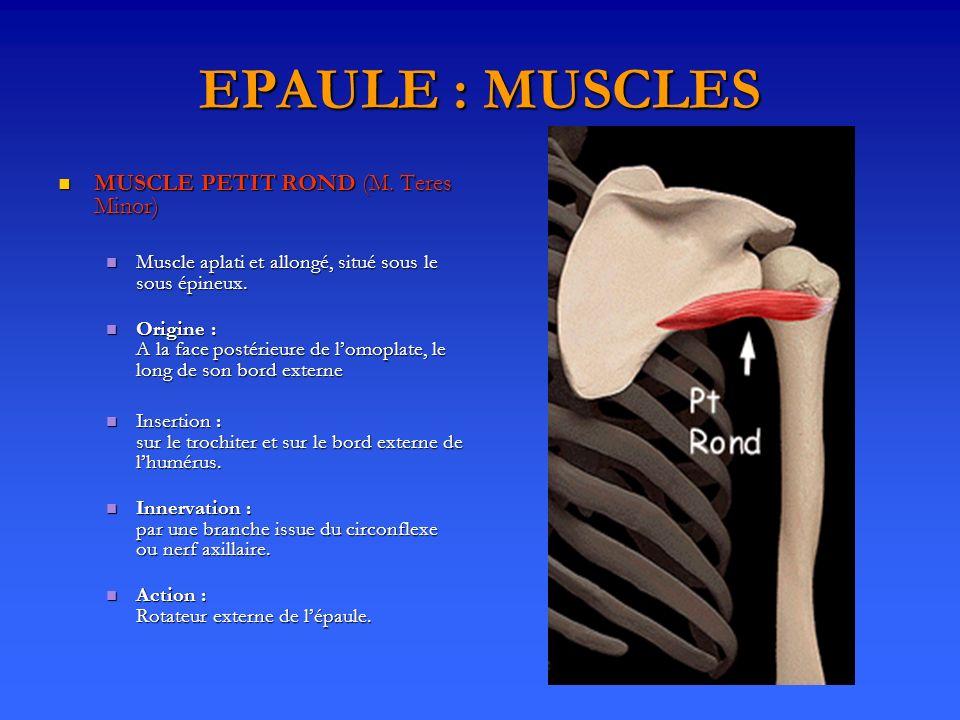 EPAULE : MUSCLES MUSCLE PETIT ROND (M. Teres Minor) MUSCLE PETIT ROND (M. Teres Minor) Muscle aplati et allongé, situé sous le sous épineux. Muscle ap