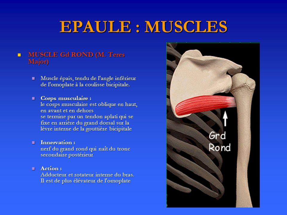 EPAULE : MUSCLES MUSCLE Gd ROND (M. Teres Major) MUSCLE Gd ROND (M. Teres Major) Muscle épais, tendu de l'angle inférieur de l'omoplate à la coulisse