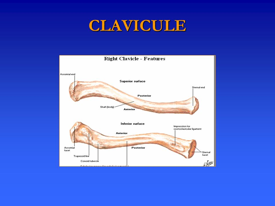 CLAVICULE