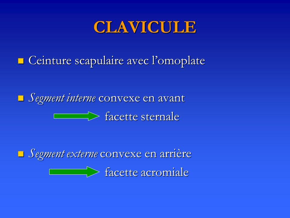 CLAVICULE Ceinture scapulaire avec lomoplate Ceinture scapulaire avec lomoplate Segment interne convexe en avant Segment interne convexe en avant face