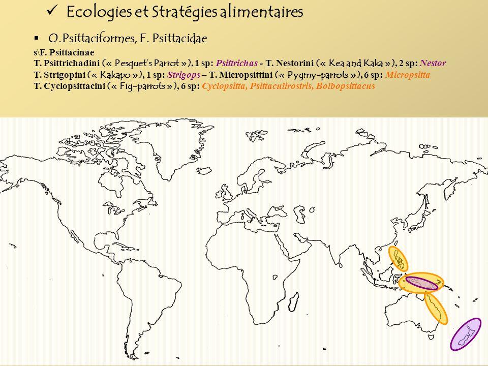 O.Psittaciformes, F. Psittacidae s\F. Psittacinae T. Psittrichadini (« Pesquets Parrot »), 1 sp: Psittrichas - T. Nestorini (« Kea and Kaka »), 2 sp:
