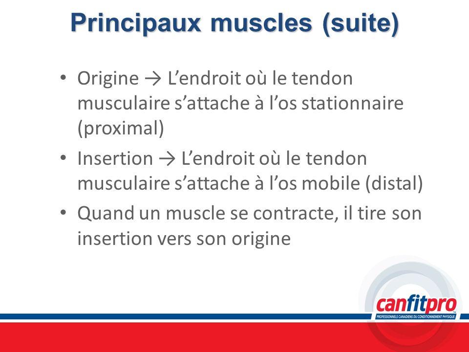 Principaux muscles (suite) Origine Lendroit où le tendon musculaire sattache à los stationnaire (proximal) Insertion Lendroit où le tendon musculaire