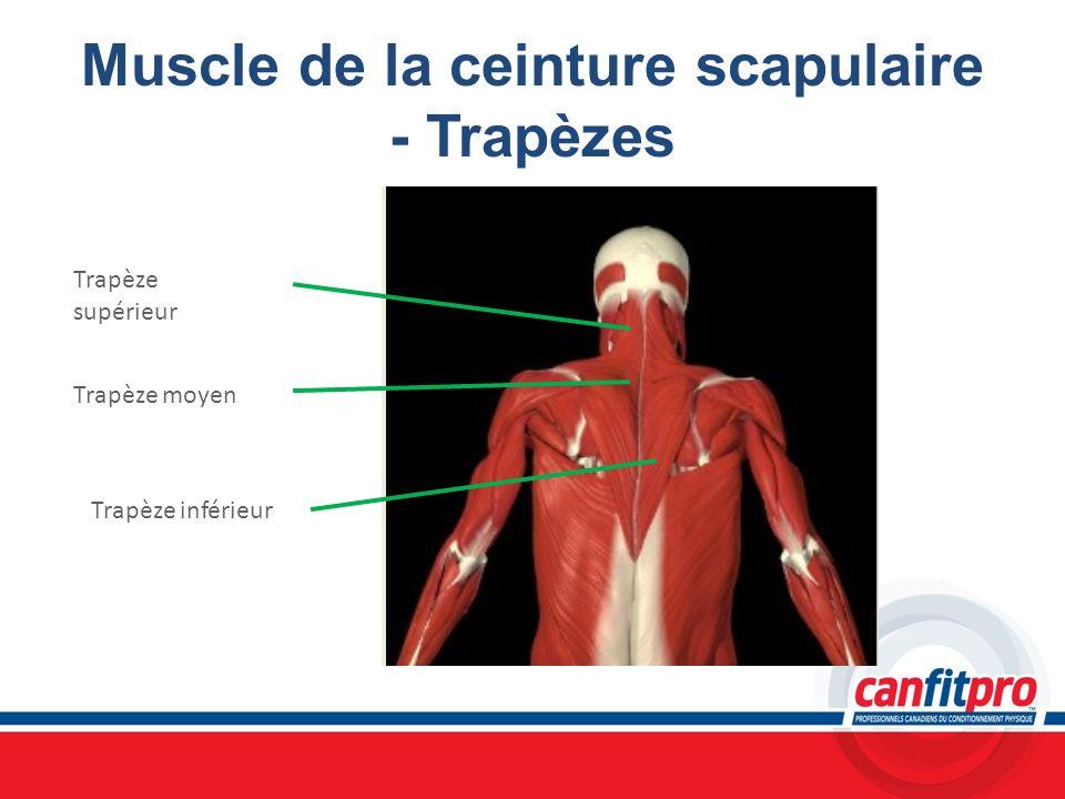 Muscle de la ceinture scapulaire - Trapèzes Trapèze supérieur Trapèze moyen Trapèze inférieur