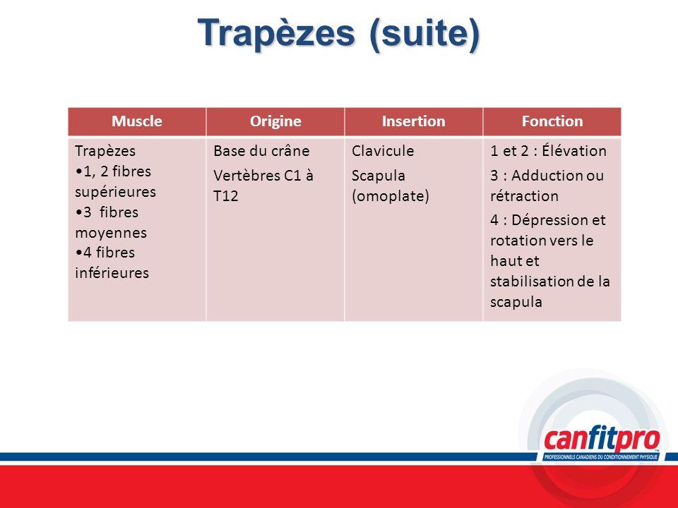 Trapèzes (suite) MuscleOrigineInsertionFonction Trapèzes 1, 2 fibres supérieures 3 fibres moyennes 4 fibres inférieures Base du crâne Vertèbres C1 à T
