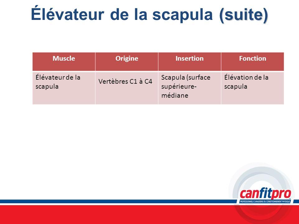 (suite) Élévateur de la scapula (suite) MuscleOrigineInsertionFonction Élévateur de la scapula Vertèbres C1 à C4 Scapula (surface supérieure- médiane