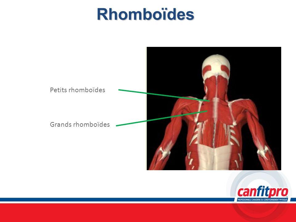 Rhomboïdes Petits rhomboïdes Grands rhomboïdes