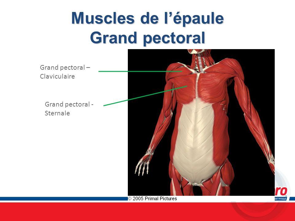 Muscles de lépaule Grand pectoral Grand pectoral – Claviculaire Grand pectoral - Sternale