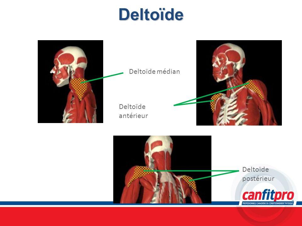 Deltoïde Deltoïde médian Deltoïde antérieur Deltoïde postérieur