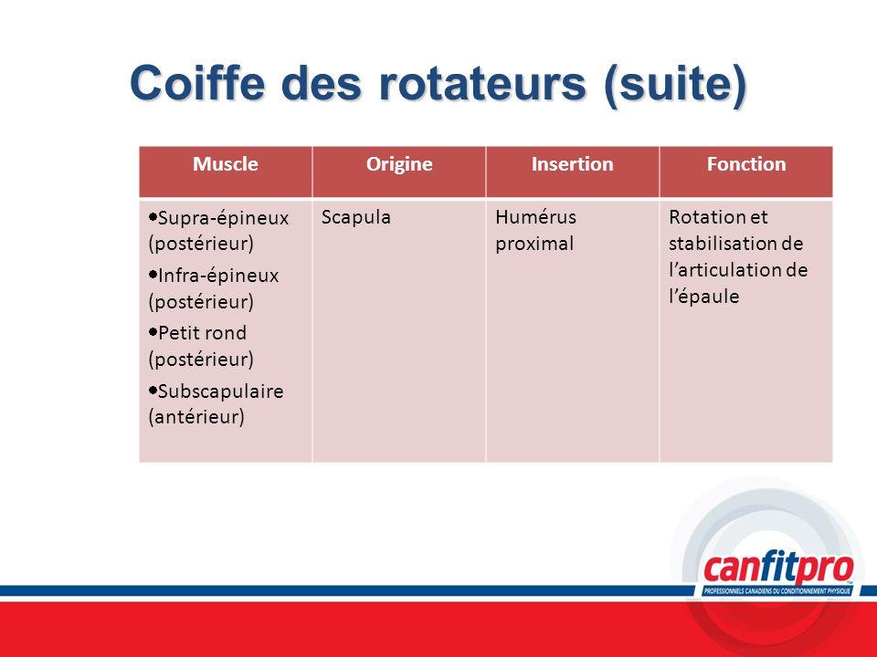 Coiffe des rotateurs (suite) MuscleOrigineInsertionFonction Supra-épineux (postérieur) Infra-épineux (postérieur) Petit rond (postérieur) Subscapulair