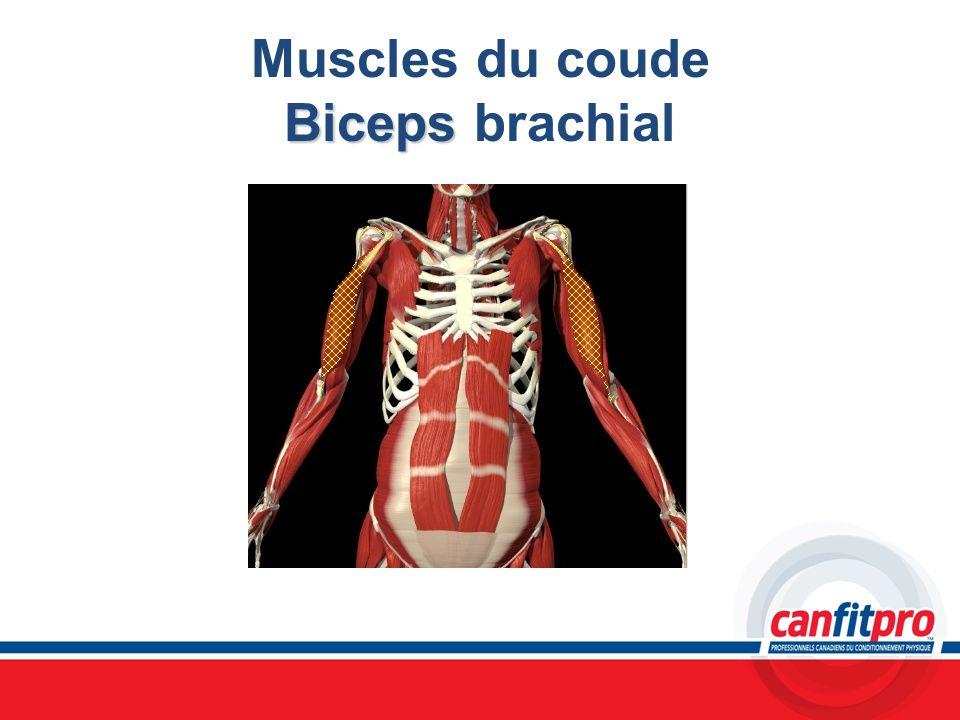 Biceps Muscles du coude Biceps brachial