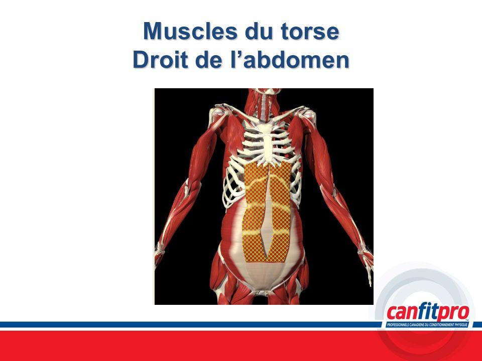 Muscles du torse Droit de labdomen
