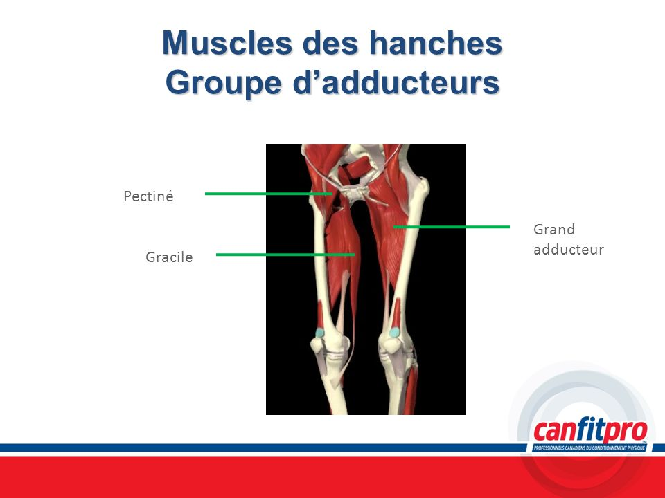 Muscles des hanches Groupe dadducteurs Pectiné Grand adducteur Gracile