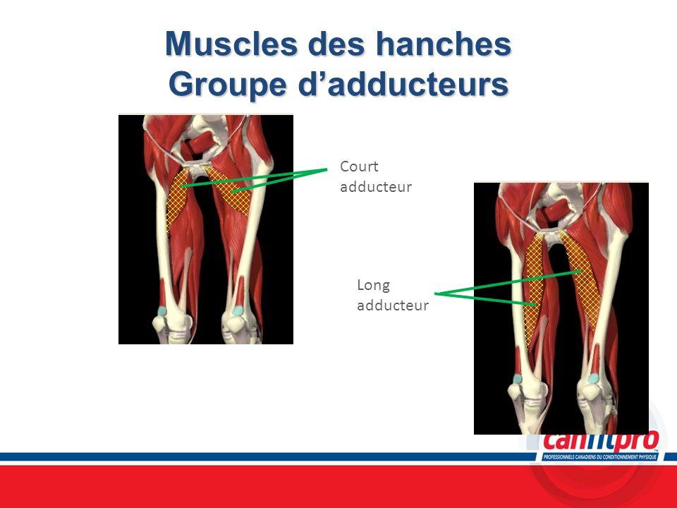 Muscles des hanches Groupe dadducteurs Court adducteur Long adducteur