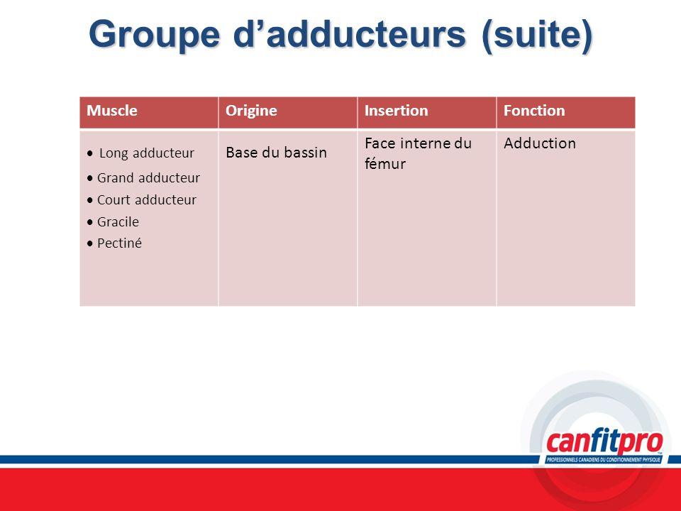 Groupe dadducteurs (suite) MuscleOrigineInsertionFonction Long adducteur Grand adducteur Court adducteur Gracile Pectiné Base du bassin Face interne d