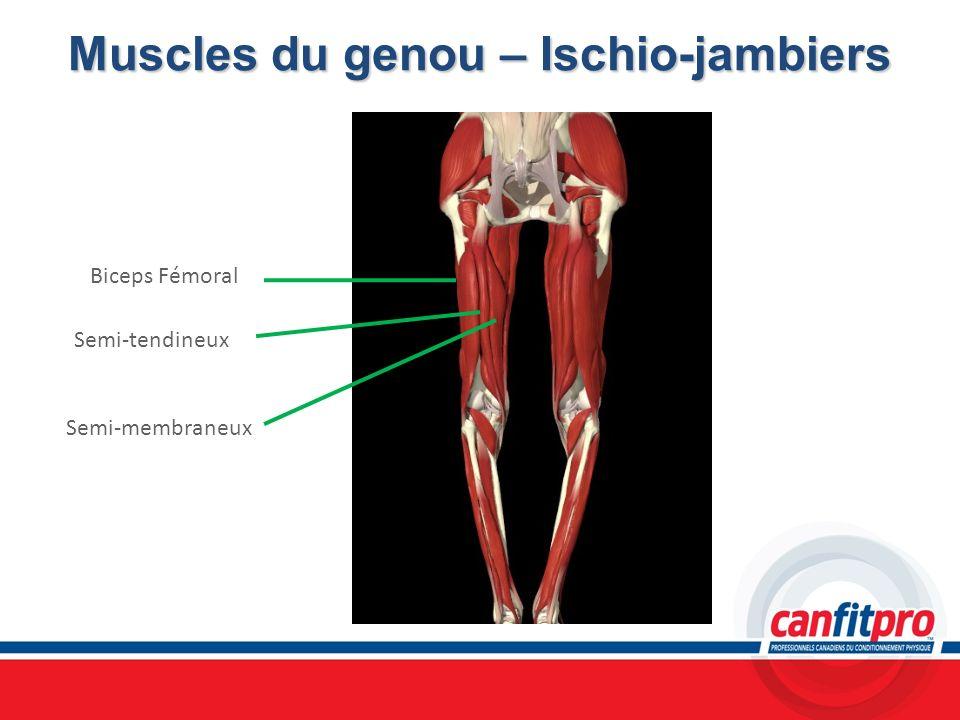 Muscles du genou – Ischio-jambiers Biceps Fémoral Semi-tendineux Semi-membraneux