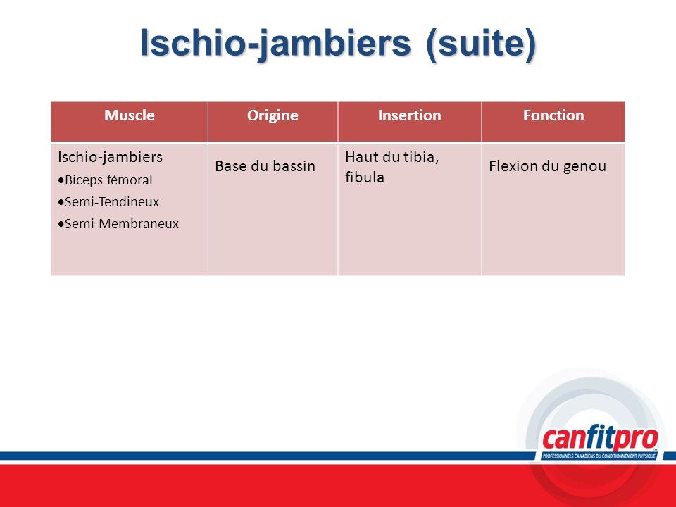 Ischio-jambiers (suite) MuscleOrigineInsertionFonction Ischio-jambiers Biceps fémoral Semi-Tendineux Semi-Membraneux Base du bassin Haut du tibia, fib