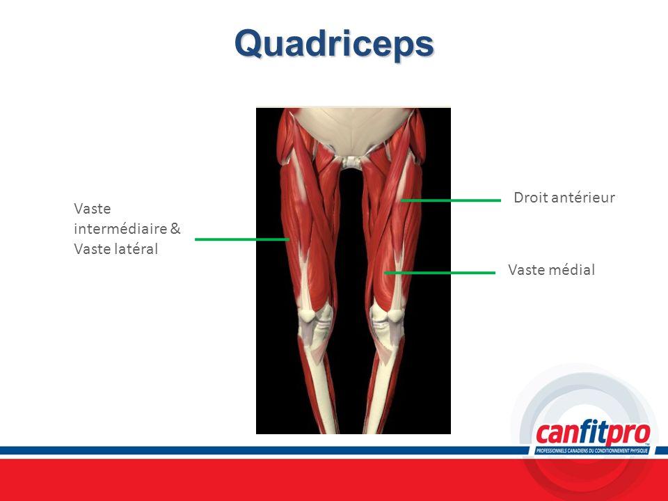 Quadriceps Vaste intermédiaire & Vaste latéral Droit antérieur Vaste médial
