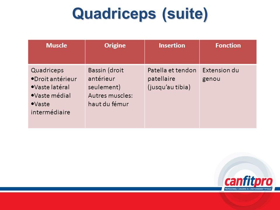 Quadriceps (suite) MuscleOrigineInsertionFonction Quadriceps Droit antérieur Vaste latéral Vaste médial Vaste intermédiaire Bassin (droit antérieur se