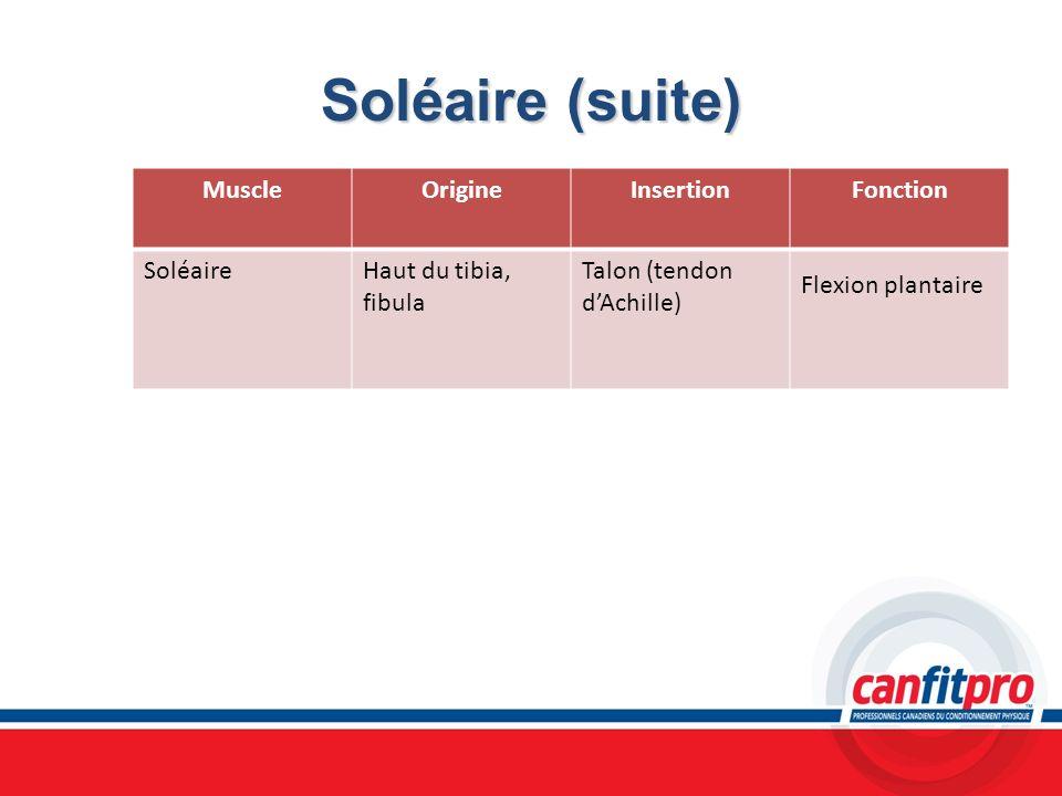Soléaire (suite) MuscleOrigineInsertionFonction SoléaireHaut du tibia, fibula Talon (tendon dAchille) Flexion plantaire