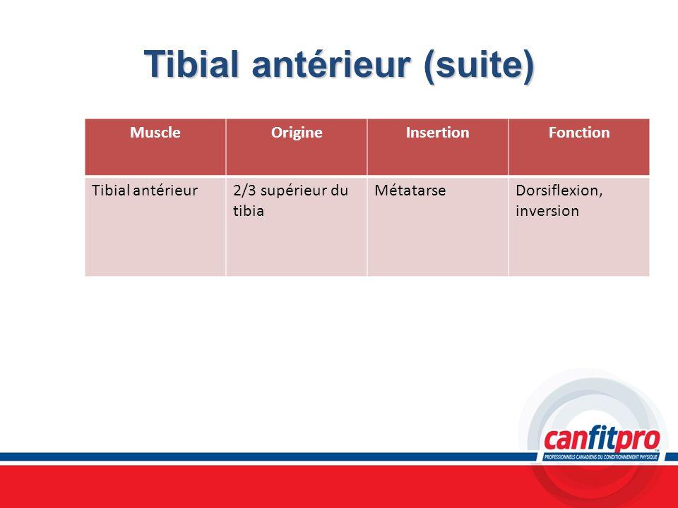 Tibial antérieur (suite) MuscleOrigineInsertionFonction Tibial antérieur2/3 supérieur du tibia MétatarseDorsiflexion, inversion