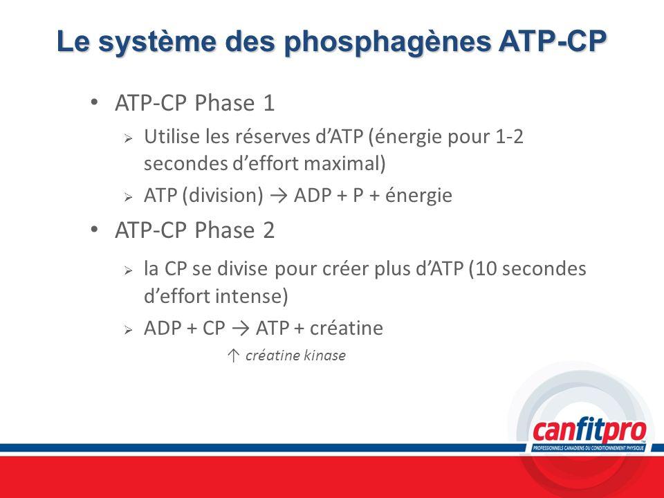 Le système des phosphagènes ATP-CP ATP-CP Phase 1 Utilise les réserves dATP (énergie pour 1-2 secondes deffort maximal) ATP (division) ADP + P + énerg