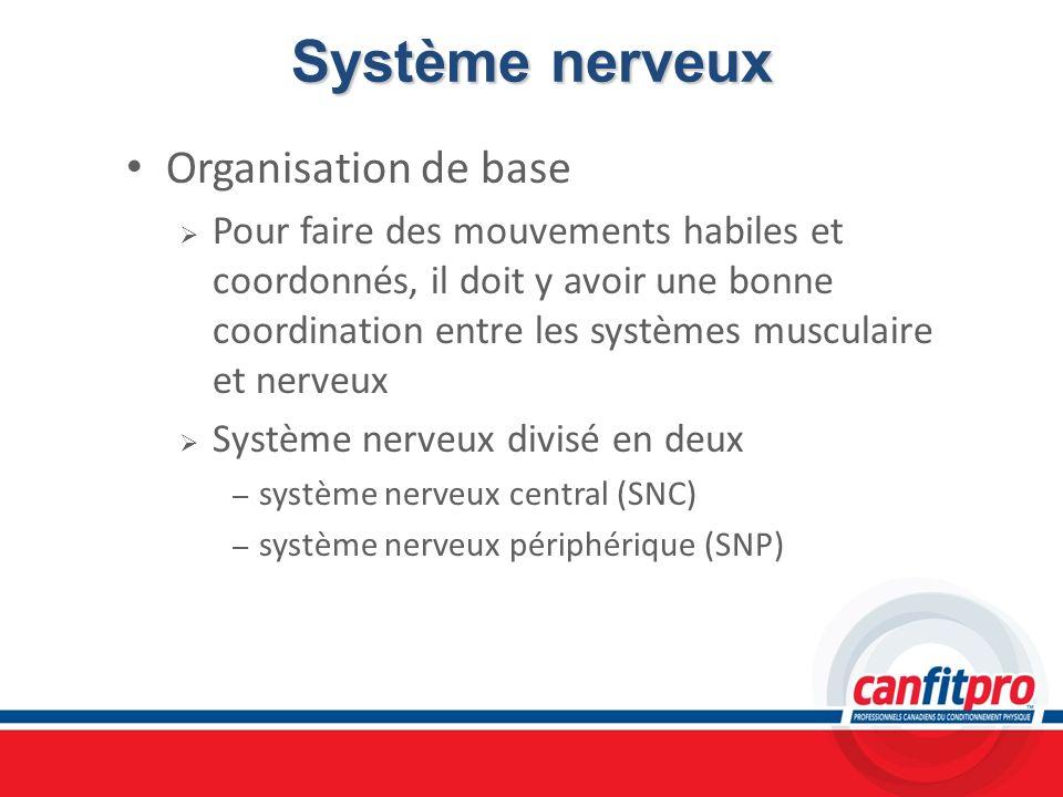 Système nerveux Organisation de base Pour faire des mouvements habiles et coordonnés, il doit y avoir une bonne coordination entre les systèmes muscul