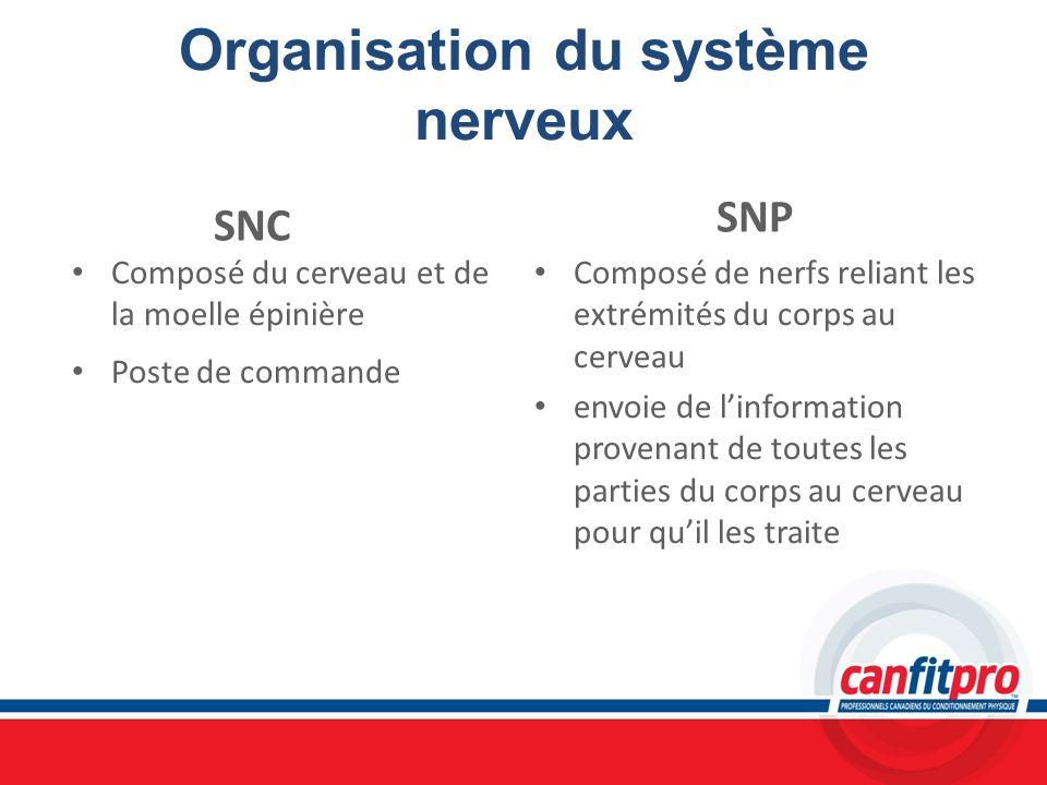 Organisation du système nerveux SNC Composé du cerveau et de la moelle épinière Poste de commande SNP Composé de nerfs reliant les extrémités du corps